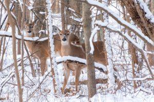 deer looking for food during winter