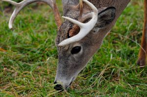 deer eating natural feed