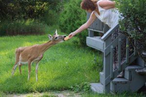 Deer eating bread