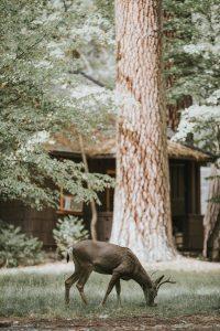 Deer eating in backyard
