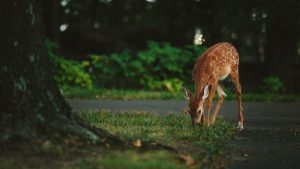 Deer eating in yard