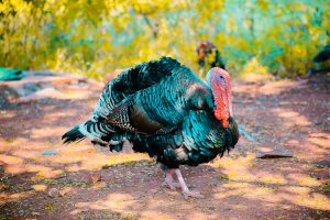 Turkey after calling with scratch box