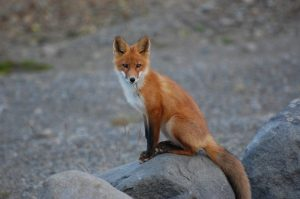 Fox hunting turkey