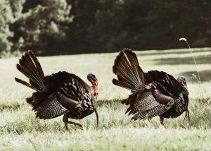 Turkeys traveling