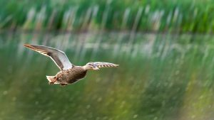 Duck coasting