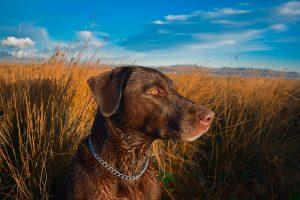 Duck hunting dog