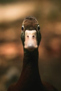 Can duck see in the dark?