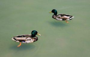 Decoys not far from duck blind