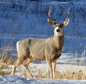 Big whitetail deer