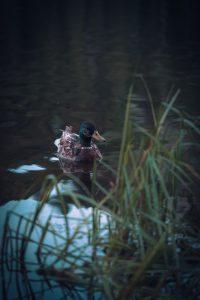 Duck in the dark