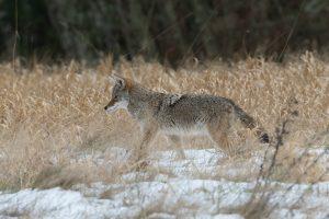Coyote approaching deer guts