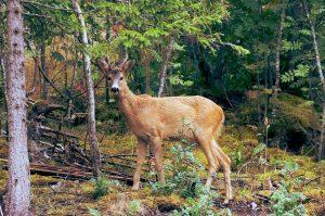 Deer have great sense of smell