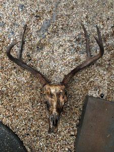 Deer skull after boiling
