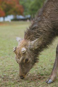 Deer after antlers fall off