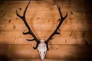Bleached elk skull