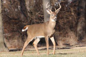 deer-antlers