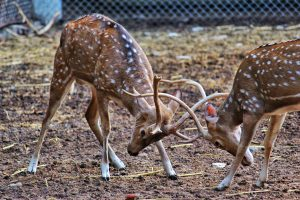 Two deer fighting with their antlers