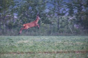 Deer jumping high