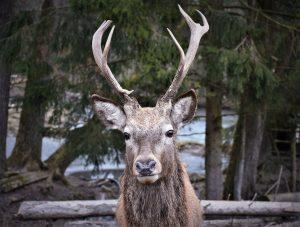 deer-peticle
