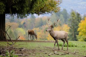 Young bull elk walking in the mountains