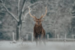 Elk out in the cold weather