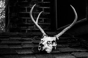 European mount deer skull