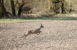 young deer running fast