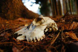 sun bleached skull